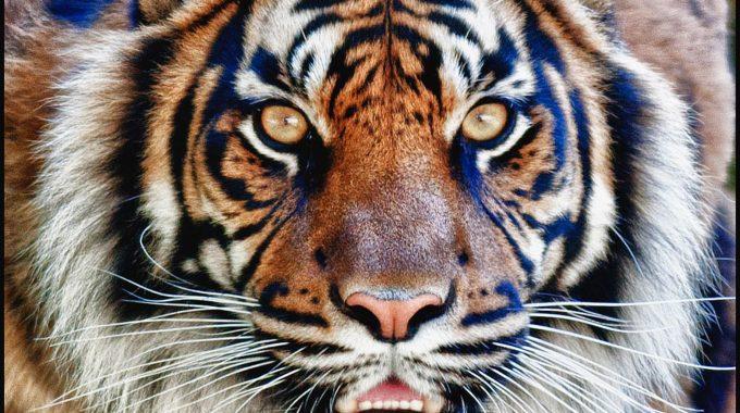 DZG_Tigers_Daseep_stare2 copy