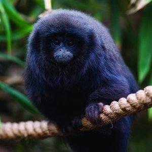 DZG_Titi_Monkey_5 FRANK