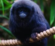 Titi Monkey (Coppery)