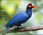 Turaco (Violet)