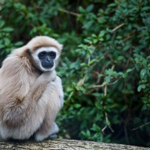 Gibbon Huggy Photo