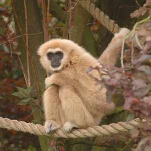 Gibbon Meo Photo