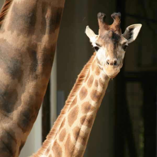 Giraffe Josie