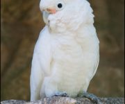 Cockatoo (Goffin's)