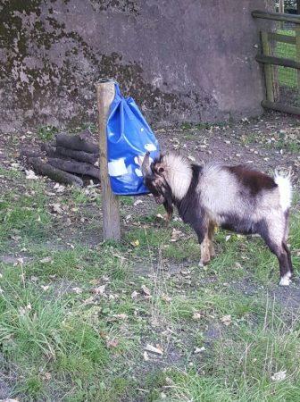 Oliver goat 1