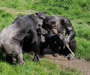Cooling chimp treats