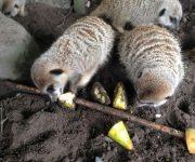 Fruity meerkat meals