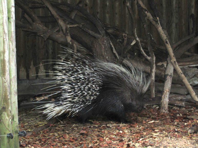 Percy porcupine