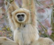Learn about our lar gibbons