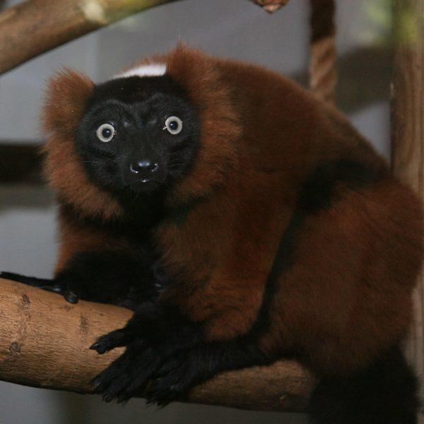 Lemur Red Ruffed Hardy Photo