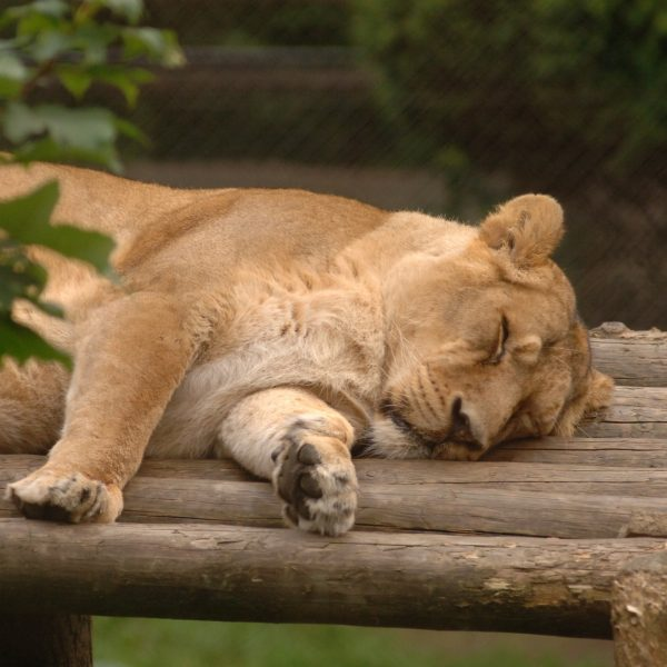 Lion Asha Photo