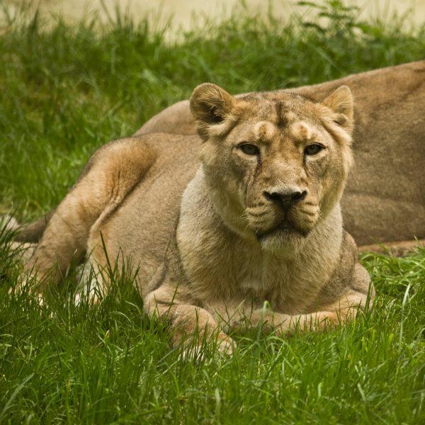 Lion Kyra Photo