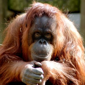 Orangutan Jazz Photo