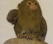 More marmoset success