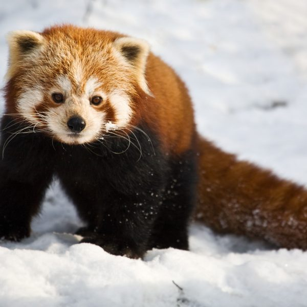 Red Panda Yasmin Photo