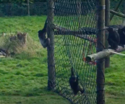 Chimps net new gift!