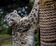 Snow leopards move in!