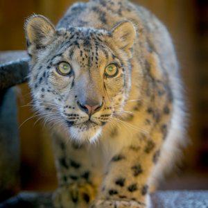 Snow Leopard Taiga photo