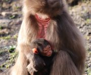 More news from the baboon bank!