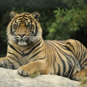 Tiger DZG Joao