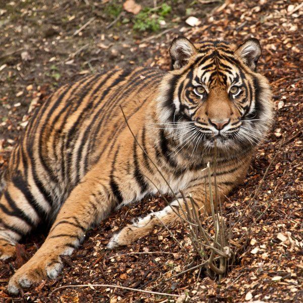 Tiger Daseep 9