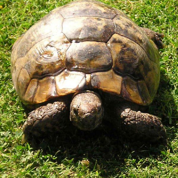 Tortoise Sam Photo