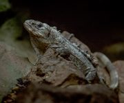 Iguana (Utila Spiny-Tailed)