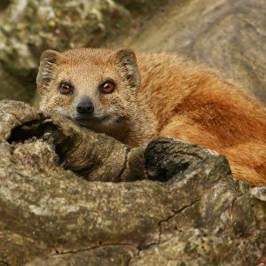 Yellow Mongoose Bella Photo