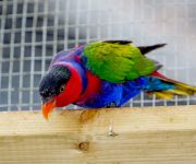 Lory (Black-capped)