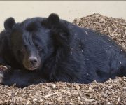 Bear (Asiatic)
