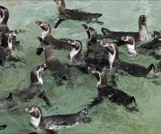 Penguin (Humboldt)