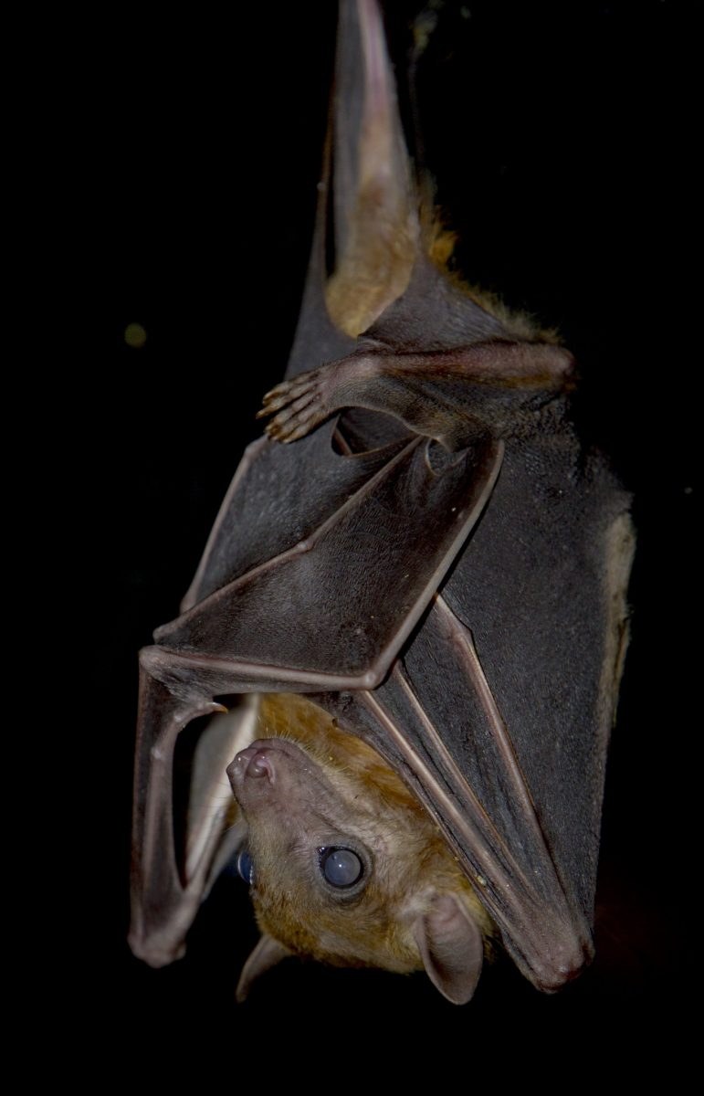Bat Egyptian Fruit Bat Dudley Zoological Gardens