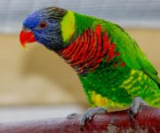 Lorikeet (Green-naped)