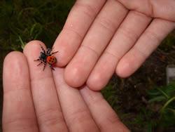 ladybird-spiders