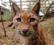 Lynx (Carpathian)