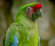 Macaw (Military)