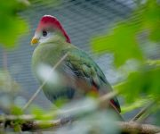 Turaco (Red-Crested)