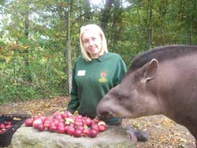 Apple treat for tapirs