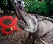 Fancy tickling a tapir?!