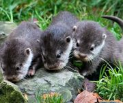 Otters head to Scotland