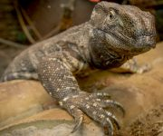 Monitor Lizard (White-throated)
