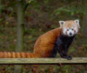 Celebrating red pandas
