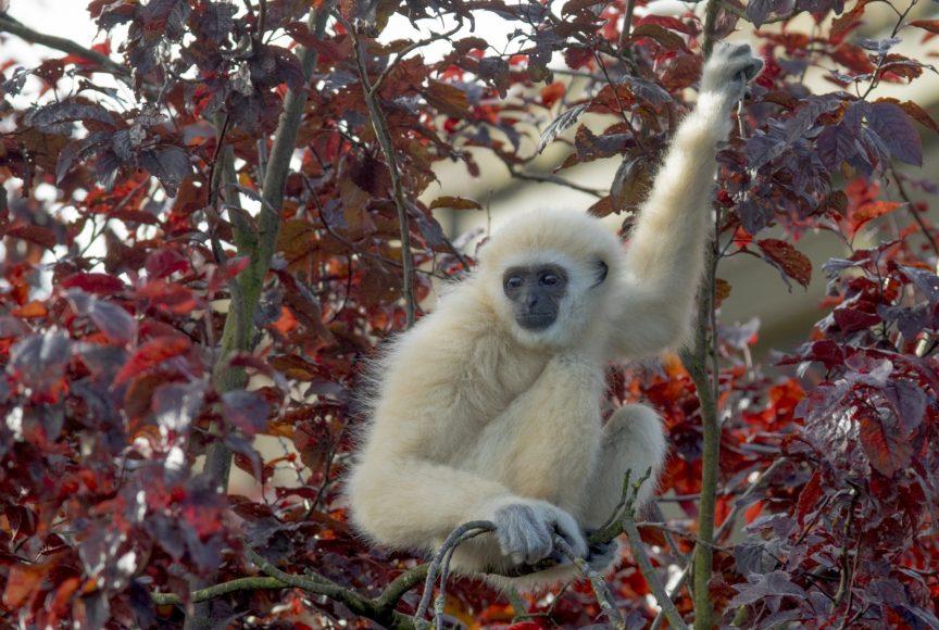 DZG - lar gibbon