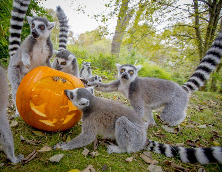 Halloween lemurs