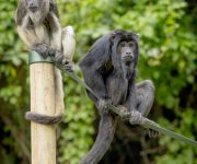 Spotlight on noisy primates!