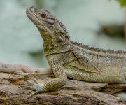 Lizard (Philippine Sail-Fin)