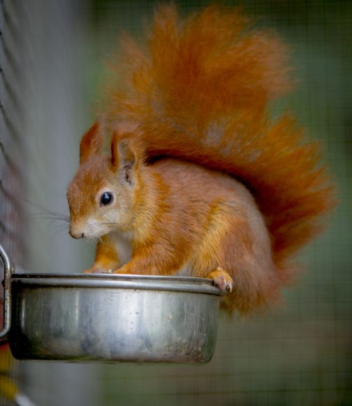 DZG red squirrel 2
