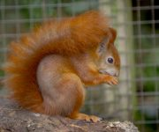 Going nuts for red squirrels!