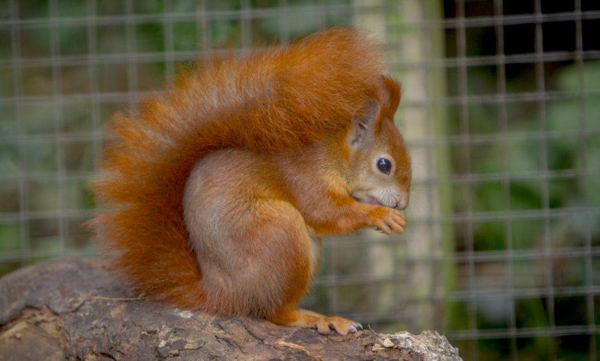 DZG red squirrel