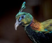 Pheasant (Monal Himalayan)